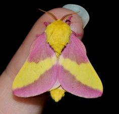 Rosy maple moth Rosy Maple Moth, Beautiful Bugs, Cool Photos, Insects, Butterflies, Drawing Reference, Google, Embroidery, Image