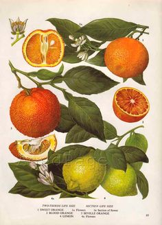 Vintage Botanical Print, Food Plant Chart, Art Illustration, Wall Decor, Citrus Fruit, Orange, Lemon.