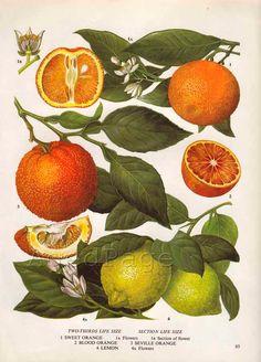Vintage Botanical Print, Food Plant Chart, Art Illustration, Wall Decor, Citrus Fruit, Orange, Lemon. $10.00, via Etsy.