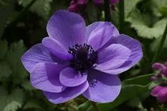 Image result for anemone flower images