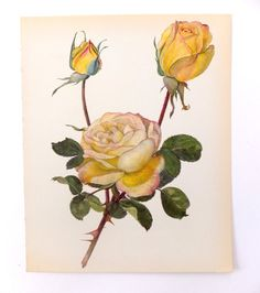 Vintage Rose Picture, Peace Rose, Vintage Blossom Picture, Rose Art, Home Decor, Roses, Yellow