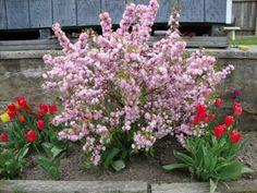 Double flowering plum prunus triloba multiplex 5 tall 5 wide a more flowers from my fans gardens mightylinksfo