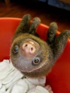 The photograph was taken at the Aviarios del Caribe Sloth Sanctuary in Costa Rica. Since the sanctuary has looked after over 100 orphaned sloths, rearing them until they are ready to return to the wild. A baby sloth just what everyone needs :) Cute Baby Sloths, Cute Sloth, Cute Baby Animals, Animals And Pets, Funny Animals, Baby Otters, Pictures Of Sloths, Animal Pictures, Cute Pictures