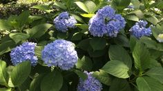 French hydrangeas may be water hogs, but extended periods of wet weather can cause them big problems. Suddenly, their pristine leaves bec...