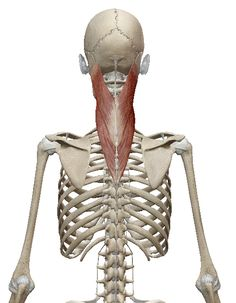 Body Anatomy, Human Anatomy, Head Muscles, Postural, Spinal Cord, Anatomy Reference, Massage Therapy, Workout Challenge, Chronic Pain