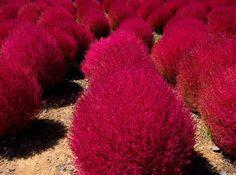 Kochia Scoparia. Green in summer, turns red in cooler weather