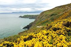 Howth Coastal Path - you can see the Sugarloaf mountain in Co Wicklow in the distance. The gorse is in bloom.