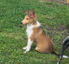 16 weeks old sheltie puppy