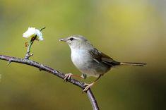 Japanese bush warbler or Japanese Nightingale (Horornis diphone) ウグイス〜コマドリ、オオルリとともに「日本三鳴鳥」のひとつ