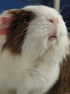 guinea pig mouth's are so cute!