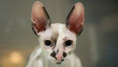 Welcome home Rilla♥ (cornish rex)
