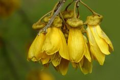 Here's everything you need to know about the kōwhai, New Zealand's unofficial national flower. Botanical Drawings, Flower Images, Countries Of The World, Native Plants, Yellow Flowers, New Zealand, Planting Flowers, Beautiful Flowers, Flora