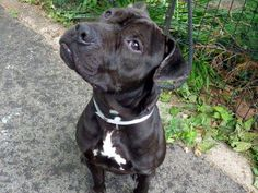 """SUPER URGENT 06/03/13 Manhattan Center INK A0966554 Male black/white am pit bull ter mix 2 YRS   Ink sits, shakes paw (both of them!),takes treats gently and is a total mush Ink was clearly a well cared for pet and is hoping to find his happily ever after quickly."""" Ink is out of time tonight. Please share him for a foster or adopter.  www.facebook.com/..."""