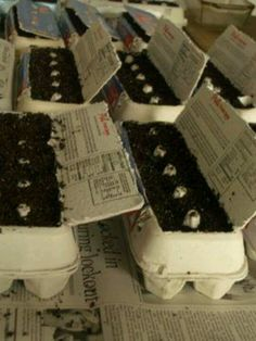 Seedlings in egg cartons