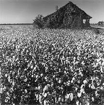 Plantation shack in cotton field.