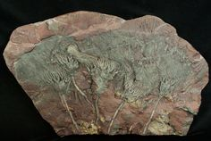Scyphocrinites elegans crinoid plate from Boutschrafin, Erfoud, Morocco  For sale at FossilEra.com