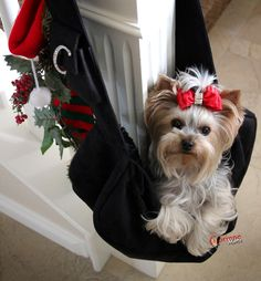 """What if Santa gets stuck up there?""- Yorkshire Terrier"