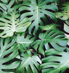 Monstera Foliage