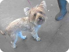 Mesa, AZ - Yorkie, Yorkshire Terrier/Westie, West Highland White Terrier Mix. Meet A3452055 a Dog for Adoption.