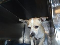 \r\nAnimal ID\t36933767 \r\nSpecies\tDog \r\nBreed\tChihuahua, Short Coat\/Mix \r\nAge\t3 years 1 day \r\nGender\tMale \r\nSize\tSmall \r\nColor\tTan\/White \r\nSite\tDepartment of Animal Services, City of El Paso \r\nLocation\tSally Port \r\nIntake Date\t10\/27\/2017