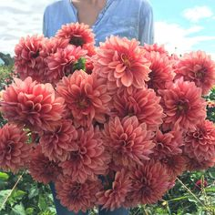 One of my all time favorite Dahlias to design with, 'Mystique' is the most exquisite shade of smoky coral and as the flowers age, the petals fade just slightly giving them a bit of an antique look. I just finished writing descriptions for the 110 dahlia varieties we'll be offering as tubers next year.  Can't wait to share them all with you, along with the crazy beautiful photos @copterchris captured of each and every one. #growfloret #farmerflorist #floretbulbs
