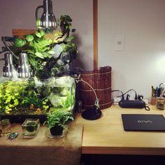 Masatoshiさんの、水槽,大学生,アクアテラリウム,テラリウム,ハンドメイド,観葉植物,コケリウム,アクアリウム,机,のお部屋写真
