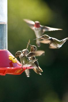 Hummingbird feeders need frequent cleaning. Keeping feeders clean is so important for the health of our little friends. Hummingbird Nectar, Hummingbird Plants, Ruby Throated Hummingbird, Hummingbird Meaning, Hummingbird Pictures, Hummingbird Migration, Hummingbird Swing, Hummingbird House, Pretty Birds