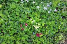 Kevätkaihonkukka on kaunis maanpeitekasvi, ja leviää tehokkaasti.   Pionihulluutta ja puutarhaunelmia. Peonies and garden dreams.