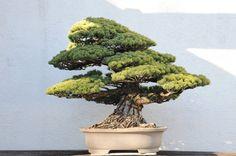 Pinus parviflora - Japanese White Pine.