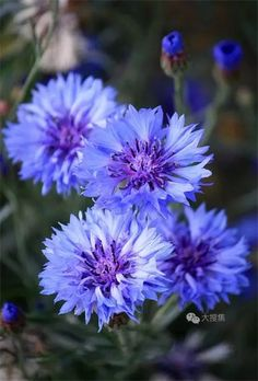 Cornflower Germany's national flower-- idea from Chelsea