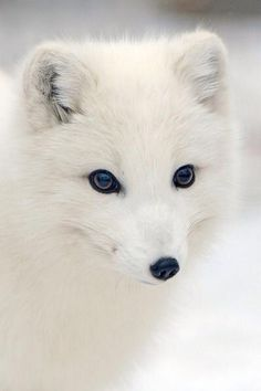 That arctic fox is prettier than me