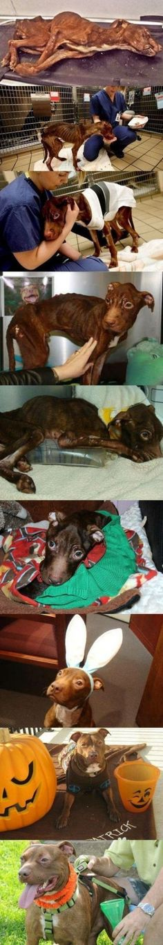 Patrick the awesome Pitbull, recovery. Amazing what a little love and care can do!