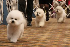 Conformation - photo courtesy of the Bichon Frise Club of America.