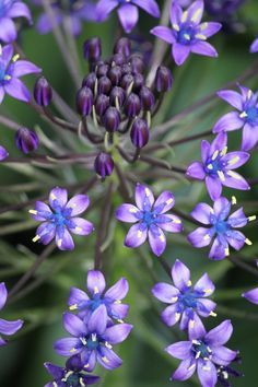 Cuban lillies