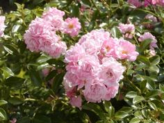 Prairie Youth (Prairie Series Rose) -  Godfrey, 1948. Salmon pink semi-double flowers borne in clusters; repeat bloomer, 6', Z2.