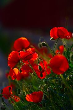 Poppies Fever by Vincent Dubarry on 500px