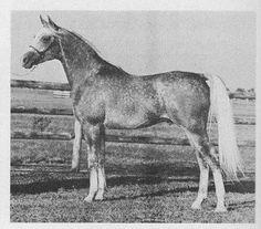 Hossny (*Ansata Ibn Halima++ x *Sanaaa) Straight Egyptian ~ 92 foals
