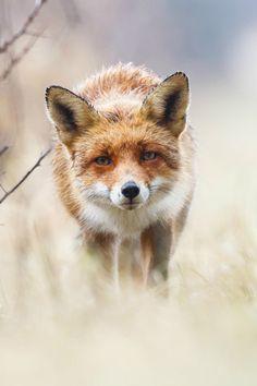 Red Fox By Pim Leijen