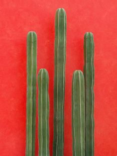 green cactus against bright orange red wall, wedding motif and decoration inspiration Cacti And Succulents, Cactus Plants, Indoor Cactus, Cactus Cactus, Plants Are Friends, Cactus Y Suculentas, Belle Photo, Graphic, Color Inspiration