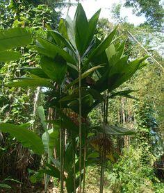 Dysps procera Procera of the Arecaceae family