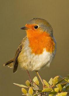 European Robin (Erithacus rubecula) by Rafi Uliel