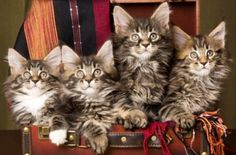 maine coon... love