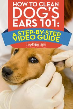 How To Clean Dog Ears 101: Detailed Step by Step Video Guide. When talking about at-home dog grooming, many pet parents don't think about cleaning their dog's ears. This is a very important aspect of dog grooming that cannot be overlooked. Learning how to clean dog ears could even save you money in vet bills due to decreased ear infections. #dogs #doggrooming