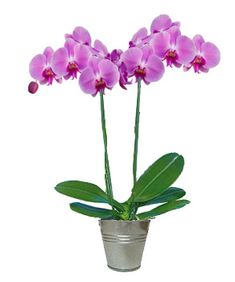Intense Rose Orchid branches) Source by All Flowers, Horticulture, Bloom, Balcony Garden, Plants, Garden Planters, Orchids, Flowers, Garden Plants