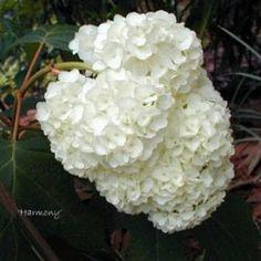 Hydrangea quercifolia 'Harmony' - bladverliezend - laag
