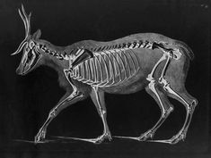 Reindeer Skeleton by Eduard Joseph D'Alton circa 1823 Anatomy For Artists, Animal Bones, White Image, Skull And Bones, Mammals, Skeleton, Reindeer, Dog Cat, Moose Art