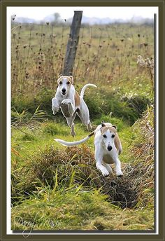 ~ Whippets In Action girl pet boy Beautiful Dogs, Animals Beautiful, Cute Puppies, Dogs And Puppies, Animals And Pets, Cute Animals, Baby Animals, Wild Animals, Whippet Dog