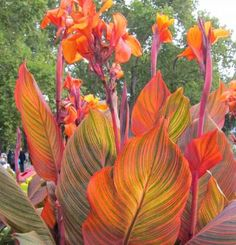 Vigorous 5- to 6-foot plant sports fascinating foliage colors. Spring leaves emerge an intense purple and are soon striped with green, yellow, pink, and red. Vivid orange flowers appear in summer on this quick multiplier. Canna 'Phasion' | Fine Gardening