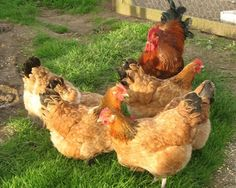 Buff Sussex - Poultry Valley & Lifestyle