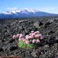 plants on lava Hekla, Iceland  Armeria maritima